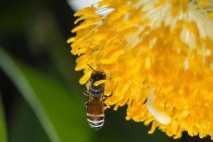 abeja sobre una flor amarilla. foto