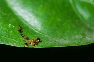 hormigas en una hoja