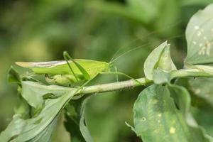 Grasshopper on a plant photo