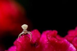 White spider on a red flower