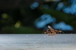 hormiga roja, foto de primer plano