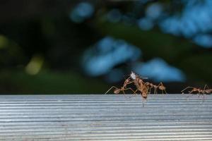 hormigas rojas, foto de primer plano