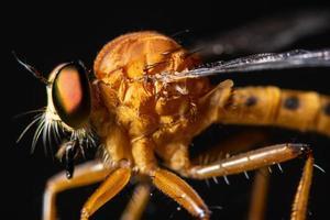 Robber fly, macro photo