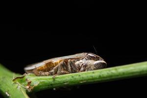 Leafhopper on a plant photo