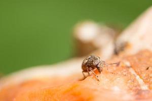 primer plano de insectos curculionoidea foto