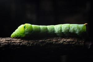Green worm on a branch photo