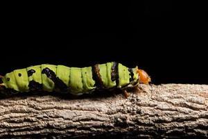 gusano verde en una rama