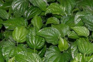 Green leaves, close-up photo