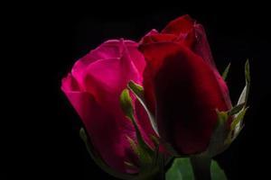 hermosas rosas rojas sobre fondo negro foto