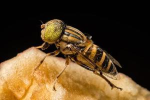 Tabanus sulcifrons primer plano de insectos