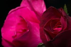 Beautiful red roses, close-up photo
