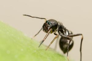 Giant ant-like jumping spider close-up
