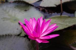 flor de loto rosa que florece en un estanque foto