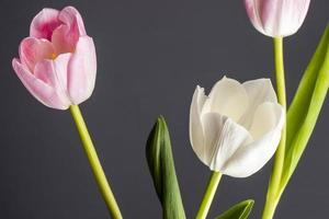 White and pink tulips isolated on a black background photo