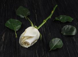 Rosa blanca sobre fondo de madera oscura.