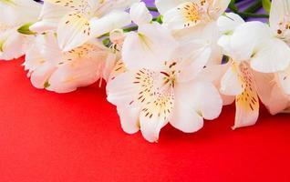 Flores de alstroemeria blancas sobre un fondo rojo.