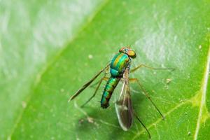 Long legged fly on a leaf