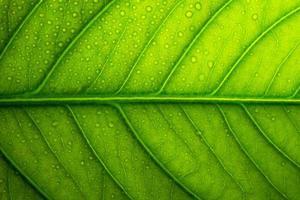fondo de hoja verde, primer plano foto
