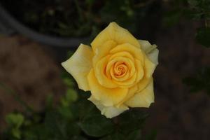 Beautiful yellow rose photo