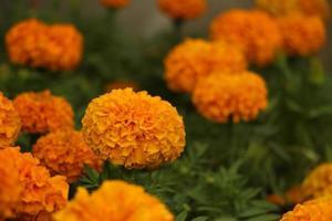 Puffy orange flower
