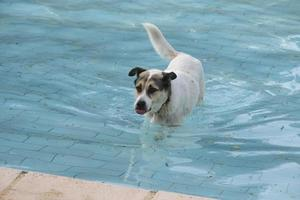 A stray dog is swimming in a pool