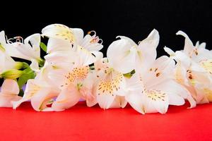 Flores de alstroemeria blancas sobre un fondo rojo. foto