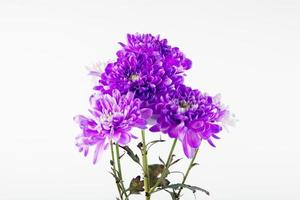 Purple daisies on a white background