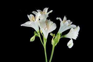 White alstroemeria flowers isolated on a black background photo