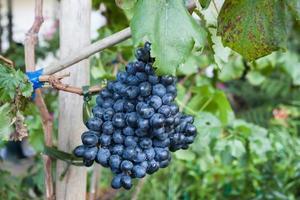 Purple grapes outside