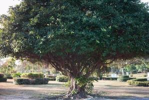 árbol grande en un campo