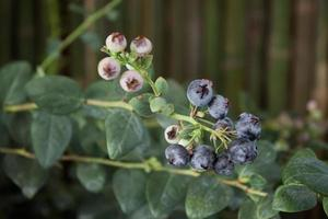 Close-up of blueberries photo