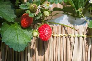 fresas en una valla