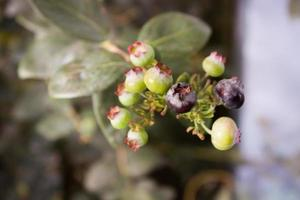 Blueberries ripening on a bush