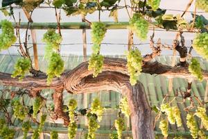 Green grapes hanging from vines
