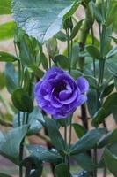 flor morada con fondo verde foto