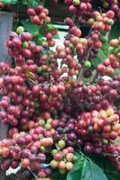 Coffee seeds on a coffee tree photo