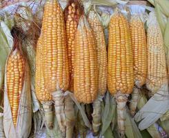 mazorcas de maíz dulce