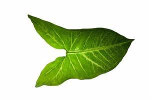 hoja verde sobre fondo blanco foto