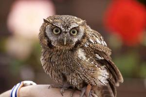 Tropical Screech Owl photo