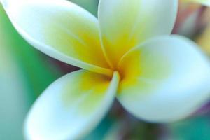 Tropical flower frangipani (plumeria
