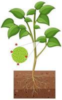 Diagrama que muestra los estomas y la célula protectora de la planta aislada sobre fondo blanco.