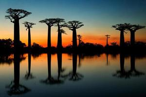 Avenue of baobabs in Madagascar. Sunset. An excellent illustration. photo