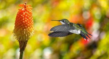Hummingbird (archilochus colubris) in flight with tropical flowe
