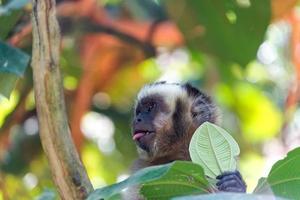 mono capuchino con lengua afuera foto