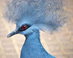 Blue crowned pigeon photo