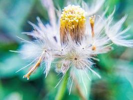 Tridax procumbens grass flower photo