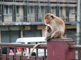 Monkey in Lop Buri Province Thailand