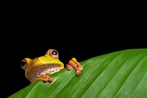 green tree frog on leaf in rainforest amazon