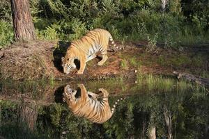 Tiger with Perfect Reflection photo
