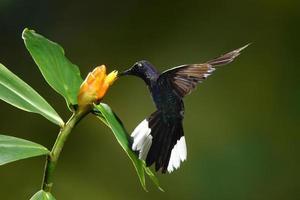 Violet saberwings hummingbird photo